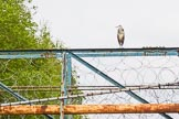 BCN 24h Marathon Challenge 2015: Heron on factory footbridge. Birmingham Canal Navigations,    on 23 May 2015 at 16:43, image #137