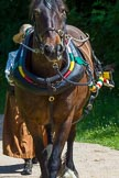 : Boat horse Balbo Baggins, age 21, height 15.5hh, a mixed breed Frisian/Clydesdale.     on 03 July 2015 at 14:43, image #21