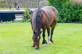 : Horse Bilbo grazing after a day's work near Marple Junction.     on 03 July 2015 at 18:34, image #100