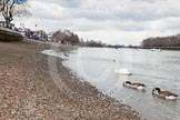The Boat Race 2013: The River Thames at low tide, seen from near Putney Pier, on the left Putney Embankment getting ready for the 2013 Boat Race.. Putney, London SW15,  United Kingdom, on 31 March 2013 at 11:17, image #13